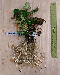 Hottunyia roots