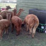 Composting Alpaca Manure in a HotBin
