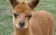 Smallholder Composting: Can I Compost Alpaca Manure?